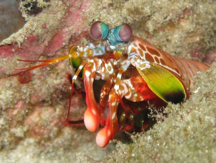 odontodactylusscyllarus